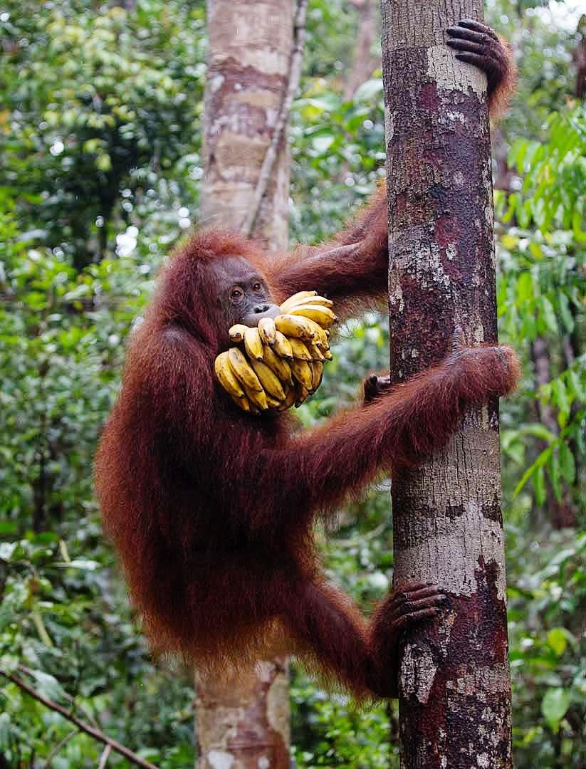 analysis of the orangutan pongo pygmaeus Free essay: analysis of the orangutan pongo pygmaeus the orangutan, pongo pygmaeus, is an ape that is found in the moist, coastal rainforests of sumatra and.